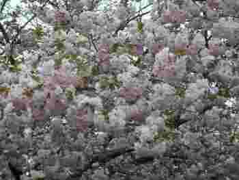 ソメイヨシノが散ってしまう4月下旬頃にはボタン桜が見頃に迎えます。