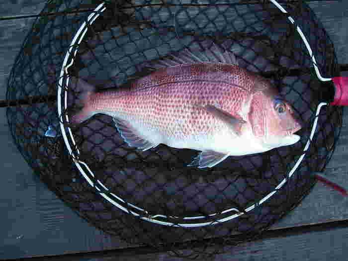 鯛といえば、真鯛。長崎・福岡・愛媛などの西日本で漁獲量が多いようです。大きなものは1mを超えるのだとか。旬は、12~3月。とくにおいしいのは、寒さの厳しい1~2月。桜が咲き時期の鯛は「桜鯛」と呼ばれます。また鯛が赤い理由は、餌にしているエビやカニの殻に含まれるアスタキサンチンという赤い色素のせいだそうです。
