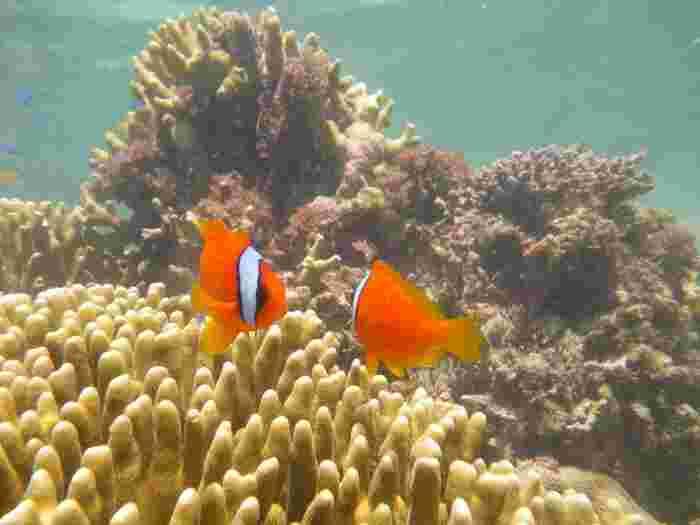 吉野海岸の珊瑚礁は、熱帯魚の宝庫です。ここでは「ファインディング・ニモ」でおなじみの、カクレクマノミなど可愛らしい魚たちの姿を見かけることができます。