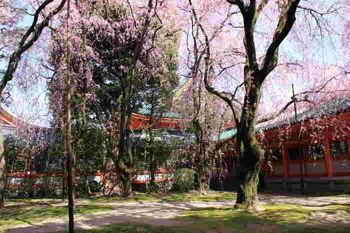 平安神宮・神苑は、平安遷都1100年を記念して1895年に創建された平安神宮の境内にある日本庭園です。四季折々で美しい景色を見せてくれる平安神宮・神苑ですが、桜の季節の美しさは格別です。