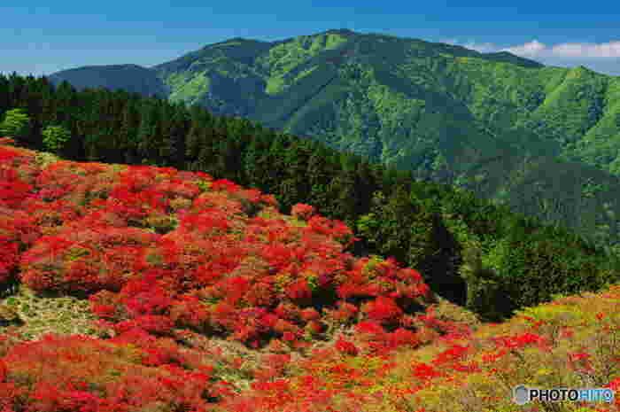 大和葛城山に群生するツツジは「一目百万本」と呼ばれています。一目で視界に100万本ものツツジの木を見渡すことができる大和葛城山では、まるで山の頂付近に赤い絨毯を敷き詰めたような景色が広がっています。