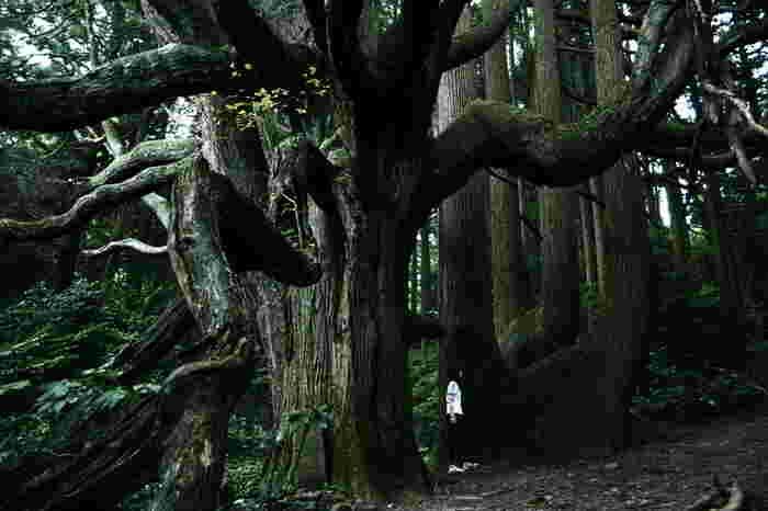 高森殿の杉は、いずれも幹周り10メートルを超えています。圧倒的な大きさでその存在感を放つ高森殿の杉の傍らに立つと、大自然の力強さ、生命力、そして畏怖さえも感じるほどです。
