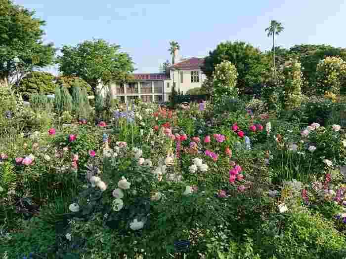 神奈川県横浜の有名デートスポット、港の見える丘公園には元々バラ園がありましたが、リニューアルオープンし、ングリッシュローズの庭として生まれ変わりました。イングリッシュローズがテーマとなっているため、日本とは思えない英国のお庭を歩いているような気分に浸れます。