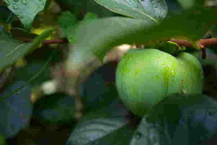 日本には柿渋を使った柿渋染めという伝統の染め技法がありますが、柿渋は初心者には少し難しいもの。けれど青柿を使って染められる簡単な方法があるとか。まだ青くて渋い柿をすりおろして布に塗ります。媒染すると深い濃茶に。渋みのあるシックな色がいい感じです。