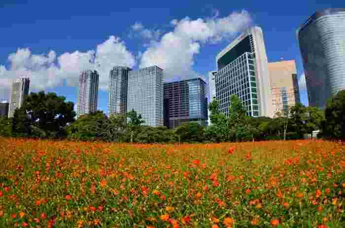 秋にはコスモスが咲き誇ります。高層ビルとのコントラストが美しい景色です。カメラを持って出かけたいですね♪