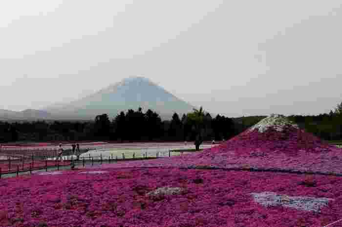 富士本栖湖リゾートでは、こんもりと土が盛られた芝桜の富士山が現れます。冠雪部分には白の芝桜、頂上付近から麓にかけては濃ピンクから淡ピンクの芝桜が植栽された「芝桜の富士山」と富士山を見比べてみるのも楽しいですよ。