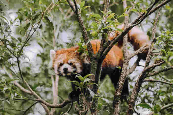 愛くるしいレッサーパンダも木の間から顔をのぞかせています。中国の四川省やヒマラヤの標高が高い地域に分布しているそう。ふさふさのしっぽとつぶらな瞳は、動物園の人気者です。