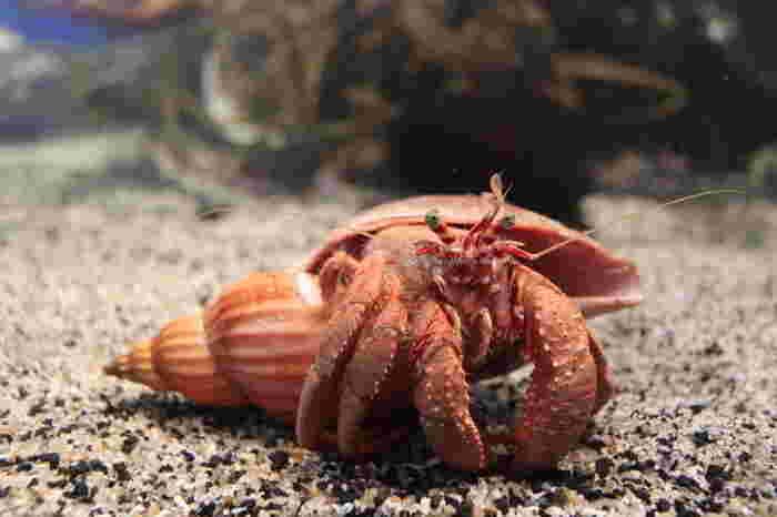 もちろんシーラカンス以外にも、深海に住むカニやタコ、ウニなど普段私たちが目にする生物とは一味違う生物を観賞することができます。一度目にしたら、忘れられないほど奇妙な生物も…。神秘的で謎めいた魚に触れたくなったら、沼津港深海水族館に足を運んでみてはいかがでしょうか?