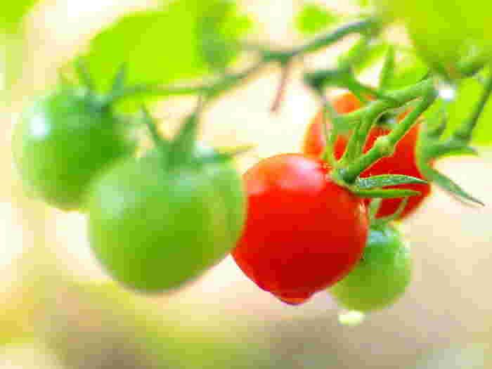 初心者さんでも簡単・家庭菜園♪《トマトのプランター栽培》育て方やコツまとめ