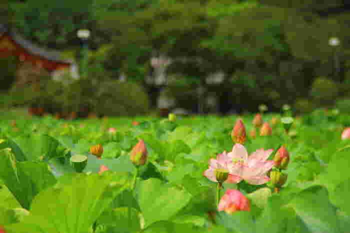 """東京で蓮の名所と言えば上野恩賜公園の不忍池。江戸時代には浮世絵にも描かれたほど、昔から蓮の名所で知られています。例年、開花時期は7月中旬~8月中旬頃と言われています。弁天堂を背景に、蓮の花々が広がる景色はまさに""""極楽浄土""""の世界。"""
