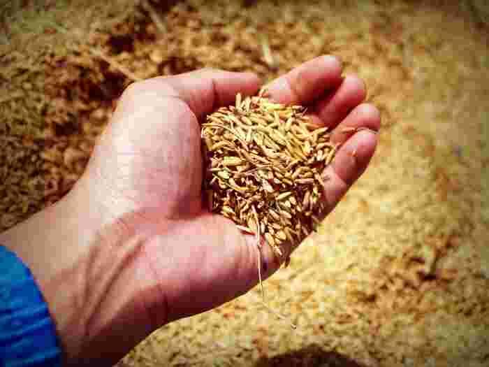 オートミールは「グルテンフリー食材」として注目されてきています。アレルギー症状を抱えている人にもおすすめですが、グルテンフリーと表示されていないオートミールには、収穫や加工の際に小麦や大麦が混入する恐れがあるので注意が必要です。