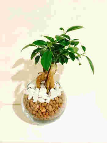 樹の部分が個性的な形のガジュマル。「幸せを呼ぶ樹」などと呼ばれ、人気の高い観葉植物です。その佇まいは愛着が湧きますね!