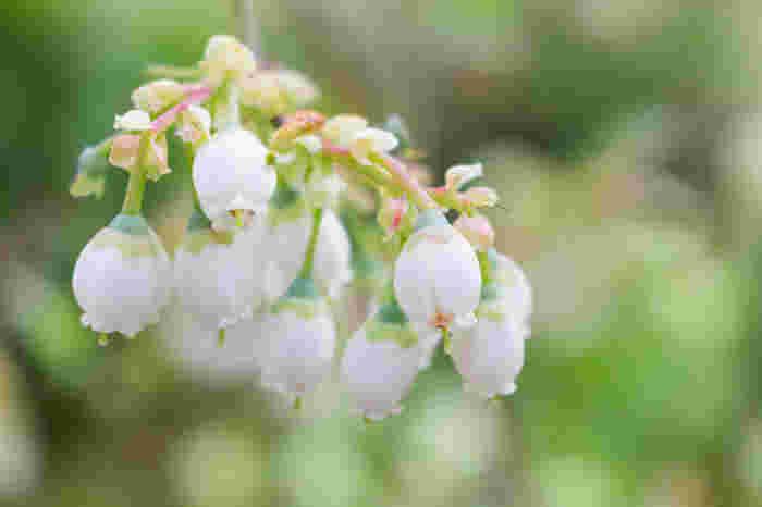 開花時期は地域や品種によって異なります。自家受粉が出来ないため、同じ種類の違う品種の苗を近くに植えるとよいそうです。昆虫が少ない場所での栽培は人口受粉を行いましょう。 ブルーベリーの生育には水が重要。夏は腐葉土やわらで鉢土の表面を覆い、冬も乾かないよう水やりが必要です。