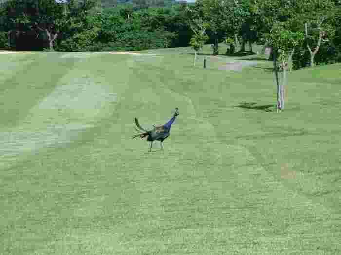 青い空と美しい緑、そして、野生のクジャクまでもがお出迎えしてくれることもある小浜島カントリークラブ。大自然を感じることのできる小浜島でのゴルフはまた違った旅の想い出を作ってくれそうですね。