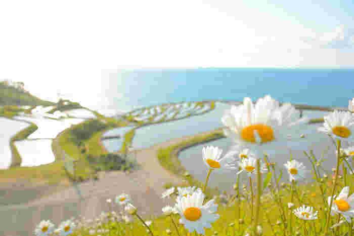 日本の棚田100選にも選ばれている国指定文化財名勝の「白米千枚田」。急斜面に1004枚もの小さな田が幾重にも段になって海岸へと広がる絶景は日本の原風景そのままで、2011年には日本で初めて世界農業遺産に認定されました。