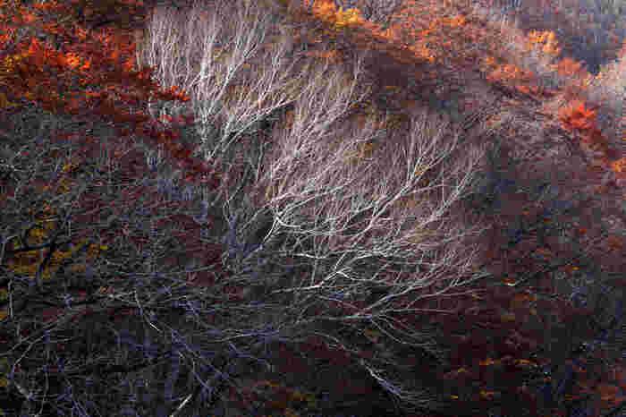 青森県内の紅葉は色づくのが早い分、10月下旬には落葉し始めて11月に入ると見ごろが過ぎてしまうところが少なくありません。そのため、観光客はだんだんと南の紅葉スポットに注目していくのですが、青森には11月でも紅葉を楽しめるスポットはまだまだありますし、タイミングが良ければ雪化粧した紅葉を楽しむこともできるのです!
