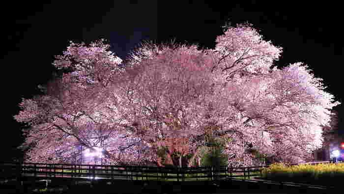 一心行の大桜は、満開時から約3日間ライトアップされます。日昼とはまた違った幻想的な姿は、じっくりと眺めたくなる美しさです。