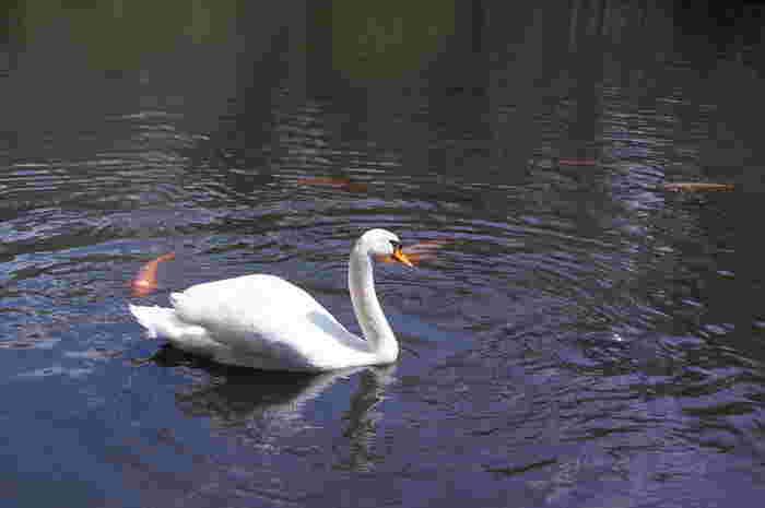 池には、白鳥もいます。マガモもいるそう。