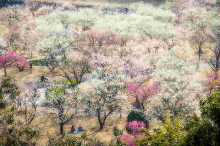 梅3000本の迫力ってこんなに凄い。偕楽園を散策していると胸いっぱいに梅の香りが広がります。