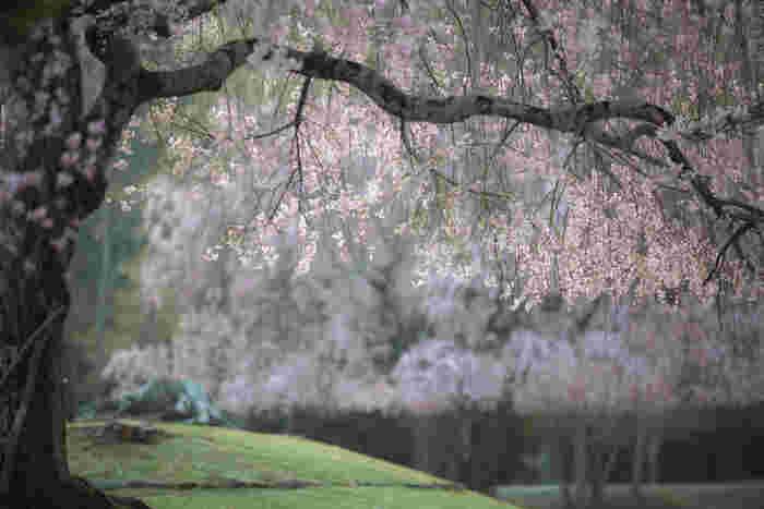 シダレザクラの大木が、満開の花を咲かせ、視界を桜色に染める様子は、まるで春そのものが舞い降りたかのようです。