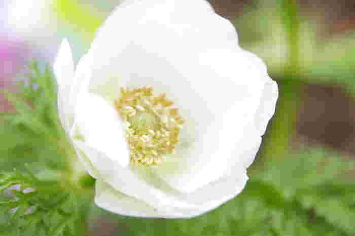 大ぶりな花ながらも、純白のアネモネは可憐で繊細な趣き。花言葉は「真実」「希望」「期待」と明るい未来を想像させるポジティブな意味合いです。シンプルな一重咲きやボリュームのある八重咲きがあり、サイズの種類も豊富です。