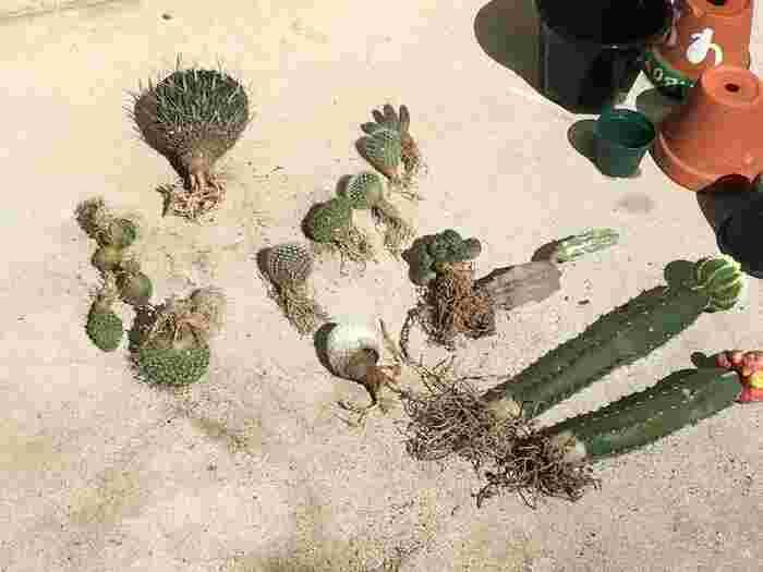 サボテンは、根の生育が早く、土の栄養分も少なくなってくるので、年に1~2回の植え替えが必要です。植え替えに適した時期は、3~4月。方法は、傷んでいる根があれば切って、苗植えのときのように植えます。その際、葉や茎が伸びていれば剪定し、根元にできる「仔吹き」と呼ばれる小さな芽があれば取り除きます。
