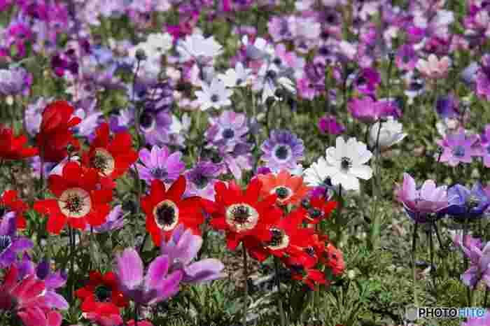 マリメッコのお花のような、このアネモネ。プレゼントしたいくらい素敵なお花ですが、「はかない恋」「恋の苦しみ」「薄れゆく愛」「孤独」を意味する、少し悲しい花言葉なんです。ただ、色別では赤が「君を愛す」、紫は「あなたを信じて待つ」、白は「真実」「希望」なので、花言葉で色を選ぶとよさそうですね。