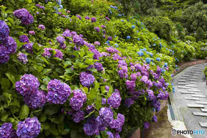 善峯寺は、桜や紅葉の名所として知られているほか、梅雨の季節になると、境内いっぱいにアジサイが次々と可憐な花を咲かせます。