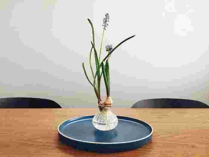 【育て方】球根を購入したら、紙袋にいれて冷蔵庫で保管します。1〜2ヶ月以上経ったら冷蔵庫から取り出し、小さな器に薄く水を張り球根をおきます。陽の当たらない暗くて風通しのよい場所で管理しましょう。根が出てきたら、直射日光を避けた明るい場所で開花まで育てましょう。ヒヤシンスほど根がのびないので、小さな瓶やグラスなどで育てるとかわいくみえるので、おすすめです。 【育て方のコツ】ムスカリは葉が長く成長するため、遅い時期に栽培開始した方が、葉の長さを抑えることができ、かわいらしくなります。水は1週間に1度交換、水の量は根の底が浸るくらいにしましょう。