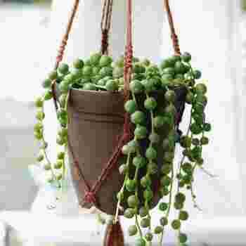 恋愛・結婚運UPには茎が下に垂れ下がる植物や、丸みを帯びた葉やハート型の葉を持つ植物が吉とされています。コロンとした丸い葉が垂れ下がる「グリーンネックレス」(写真の植物)や「ワイヤープランツ」、丸みを帯びた葉を持つ「モンステラ」などがおすすめです。