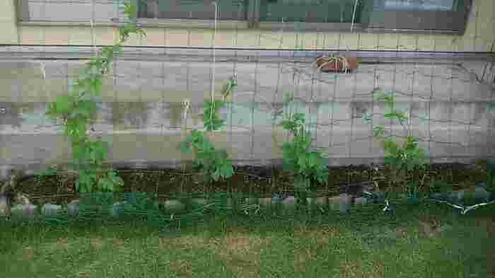 準備するもの ・ネット(ひもでもok) ・支柱(ネットやひもだけでもできますが、支柱があるとたわみや風にも強くなります) ・お好みのグリーンカーテンおすすめ植物(初心者にはタネより苗がおすすめ!) ・必要に応じて土を用意。ゴーヤー用の土など、必要な栄養素がバランスよく配合された土も販売されています。 ・ジョウロ(グリーンカーテンおすすめ植物は成長の早いものばかり。たっぷりの水を毎日やリましょう)  +++++プランター栽培にはこちらも用意++++++ ・(土のないところに作りたい時は深さのある大きめのプランター)