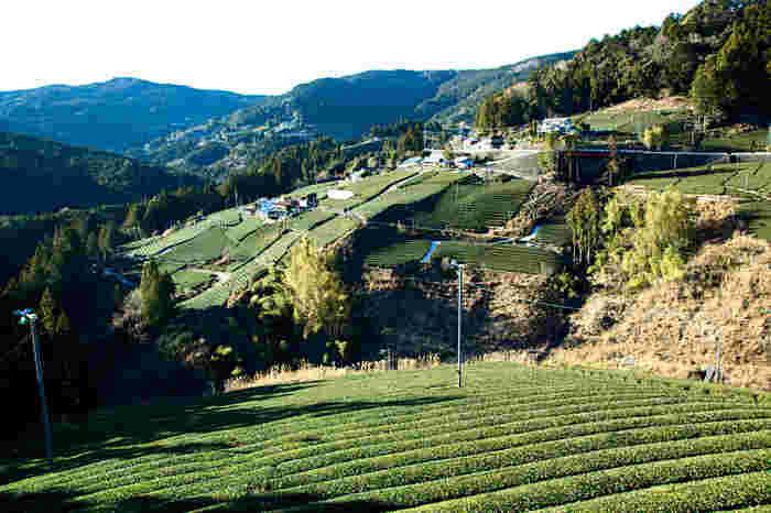 川根本町は、大井川上流に位置する静岡県北部の町です。寸又峡、大井川鐵道といった観光資源の宝庫であるうえに、静岡茶有数の銘茶「川根茶」の生産地でもあり、大井川鐵道の車窓からはのどかな茶園が広がっています。