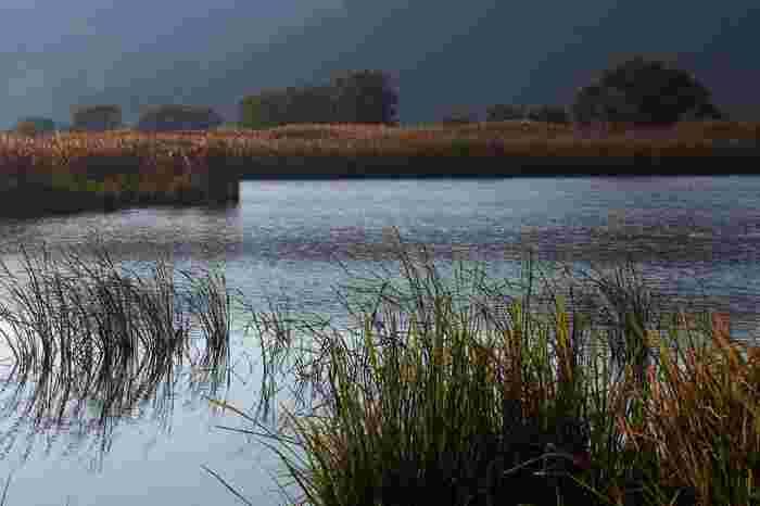 近江八幡の水郷は、ヨシ(葦)の群生地でもあります。風が吹く度に、サラサラと聞こえる心地よい葉擦れの音に耳を傾けながら、船頭がゆっくりと漕ぐ屋形舟から眺める景色は、絵画のような素晴らしさです。