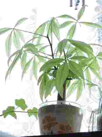 『発財樹』『money tree』とも呼ばれ、運気が上がると言われる木、パキラ。和にも洋にも馴染む、その魅力を再発見しましょう!