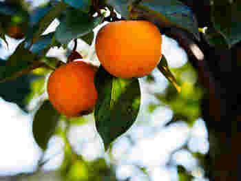 10月から12月の初旬頃、スーパーや八百屋さんの軒先にオレンジ色の見頃な柿が並び始めます。店頭に並ぶと「そろそろ冬の準備をする頃かな。」なんて季節を感じさせてくれる「柿」はただむいて食べるだけではなく、様々なお料理にも幅広く対応できる果物なんですよ。そこで今回は、柿を使って作る洋風和風、スイーツのレシピをご紹介したいと思います。