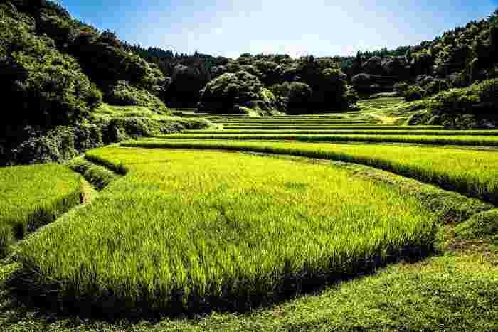 陽射しを浴びて、棚田の稲が深緑に輝く稲と、抜けるような青空とのコントラストの美しさは格別です。