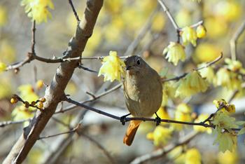ロウバイは、小寒(1月6日頃)から立春の前日(2月3日頃)までの季語とされ、お茶会や生け花にも頻繁に登場します。鳥さんはひと休み中のジョウビタキ。
