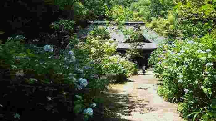 """また、箱根北原ミュージアムといった文化施設や、フォレストアドベンチャーといったアクティビティ施設もあり、ハイキングコースも整備されているので、""""温泉""""以外のアクティビティも楽しめます。  【6月下旬の「阿弥陀寺」境内。箱根登山鉄道沿線は、あじさいの名所で有名だが、当境内も時期になるとあじさいの花々で彩られる。緑深い山中にある境内へは、ひたすら山道を上るが、訪れるに値する箱根湯本の名所。】"""