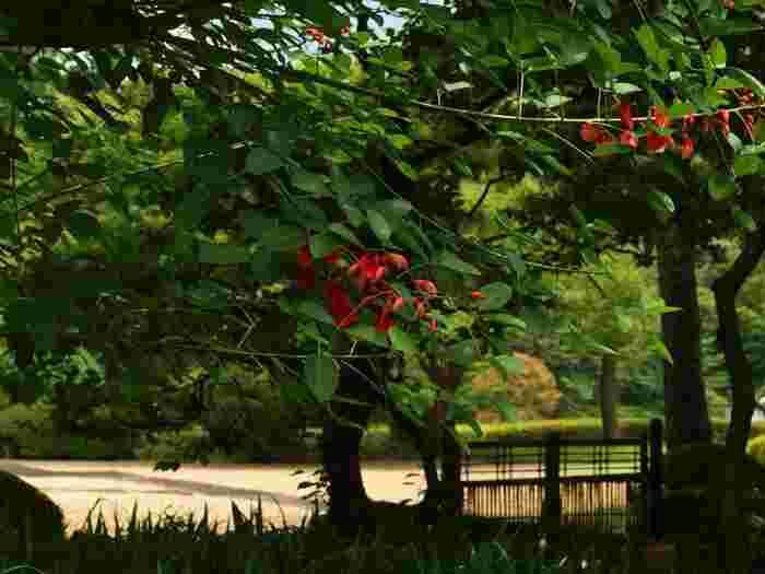 そして、そうした苑内の見所やスポットを一つ一つ周り回れば、昔日の東京、現皇居を取り巻く、豊かな自然環境と移ろいゆく季節を、五感を通してゆったりと感じることも出来るでしょう。  【苑内「都道府県の木のコーナー」の植えられている、鹿児島県の県木「かいこうず(海紅豆)」(アメリカデイゴ)は、夏に赤い花をつける。(沖縄県の「デイゴ」は、別種である)】