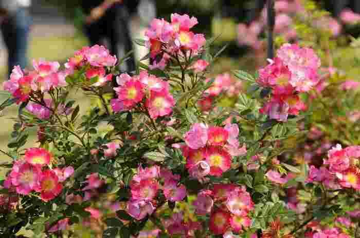 特に初夏の頃は、春に負けず劣らず季節の花々が多く、サツキ、ヤマボウシ、ハマナス、ツツジ、スイレンと、様々な花々が次々と咲き開いていきます。【5月中旬の苑内「バラ園」に咲く『カノコ』】
