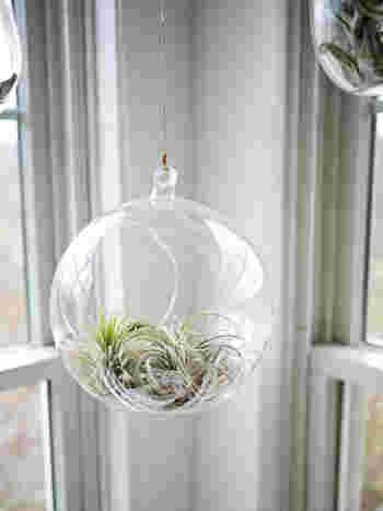 ガラスのテラリウムにエアプランツを入れて。 エアプランツは3~4日に一度霧吹きでお水をあげるだけなので手入れが楽チンです。