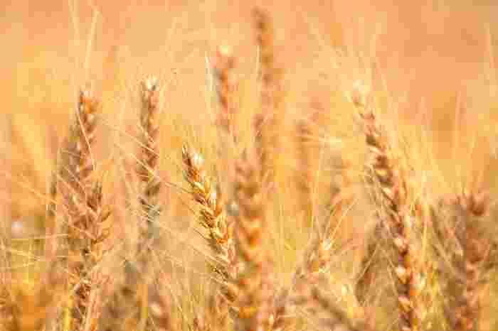 麦の穂が実り始め、収穫するころ。季節としては初夏ですが、麦にとっては収穫の「秋」であることから、名づけられた季節が「麦秋」です。「麦秋」は俳句の夏の季語の一つです。