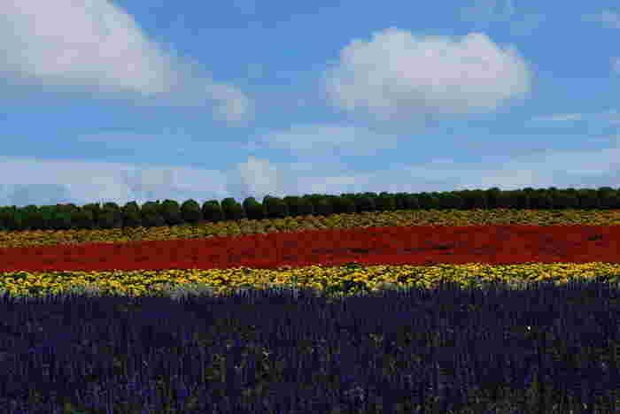 上富良野町と美瑛町の町境に位置するかんのファームには、ラベンダーをはじめ、約10種類の色鮮やかな花々が栽培されています。