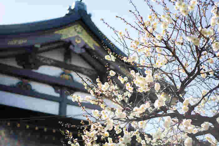 学問の神様・菅原道真公を御祭神とする「湯島天神」。例年2月中旬~3月上旬に見頃を迎える梅園には、約300本もの梅の木がありその8割が白梅です。神社のお社を背景にした梅の美しさにうっとりしますね。