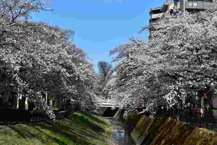 乞田川は、多摩市内を悠然と流れる一級河川です。多摩ニュータウン通りに沿いの乞田川の両岸には約3キロメートルにおよぶ桜並木があり、春の多摩市に彩りを与えています。