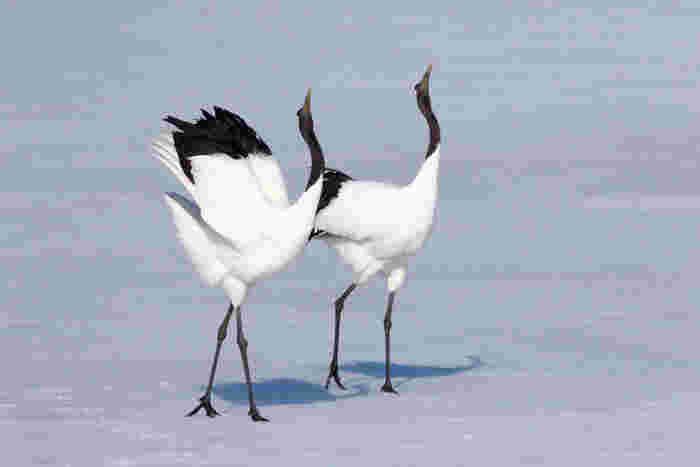 北海道・釧路湿原の「タンチョウ」。白銀の世界を2m以上の羽を広げて飛ぶ姿が優雅で美しく、多くの旅人を魅了します。タンチョウは、観察施設や給餌場で見ることができます。