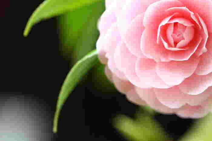 """画像は「乙女椿」という品種。幾重にも花びらが重なるさまは千重(せんえ)咲きと呼ばれています。海外では""""ピンク・パーフェクション""""の異名も。"""