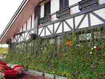色とりどりの花色を長く楽しめるのも朝顔のいいところ。ぜひ我が家のグリーンカーテンに採用してみては?