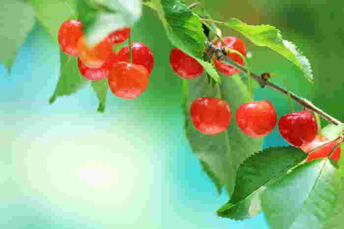 初夏の果物の代表格、可愛らしいさくらんぼ。佐藤錦などの赤いさくらんぼのほか、実が黄色い品種もあります。植物学上は、桜桃(おうとう)というそうです。また、輸入のアメリカンチェリーはその濃厚なおいしさと、手頃なお値段でとても人気ですね。