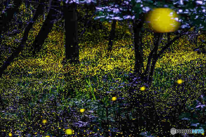幻想的に光を放つ、大垣市の天然記念物「姫蛍(ひめほたる)」。 金生山山頂の自然豊かな森とその中に点在する岩巣公園に生息する「姫蛍」は、別名「山蛍」とも呼ばれ、陸棲のホタルで、体長9mm(雄)、7mm(雌)前後の小さなホタル。深夜になると鋭くフラッシュのように発光するのが特徴です。 毎年6月の夜に「金生山姫螢観察会」が開かれるので、その幻想的な光景を見に、是非、足を運ばれてみてはいかがでしょう…。
